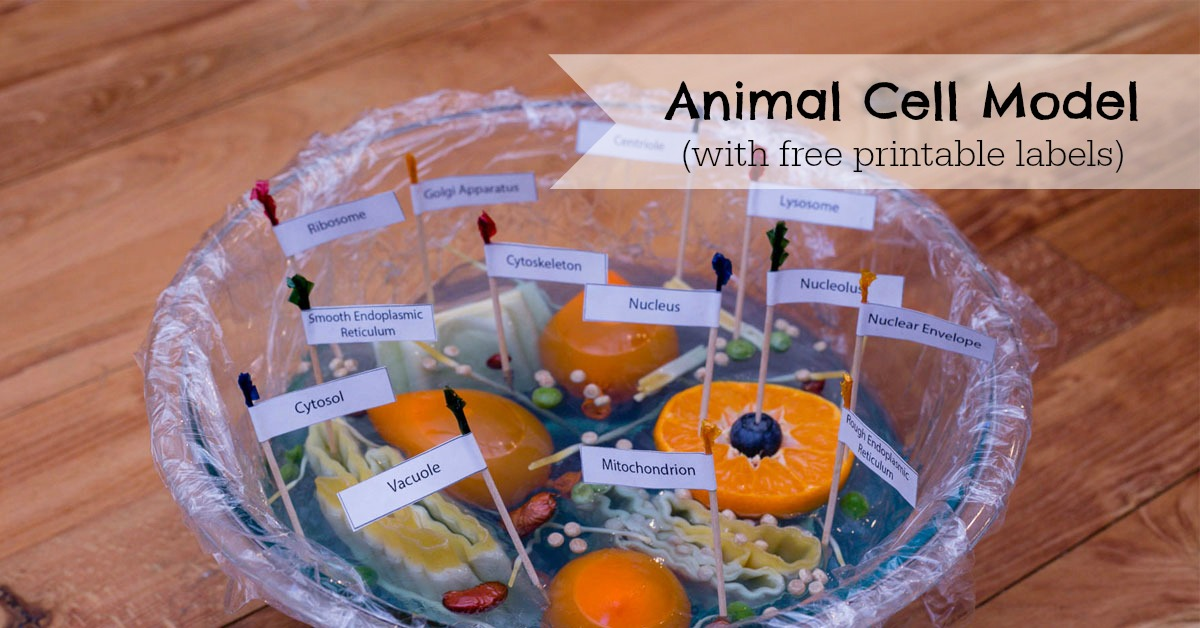 Animal Cell Model - ResearchParent com