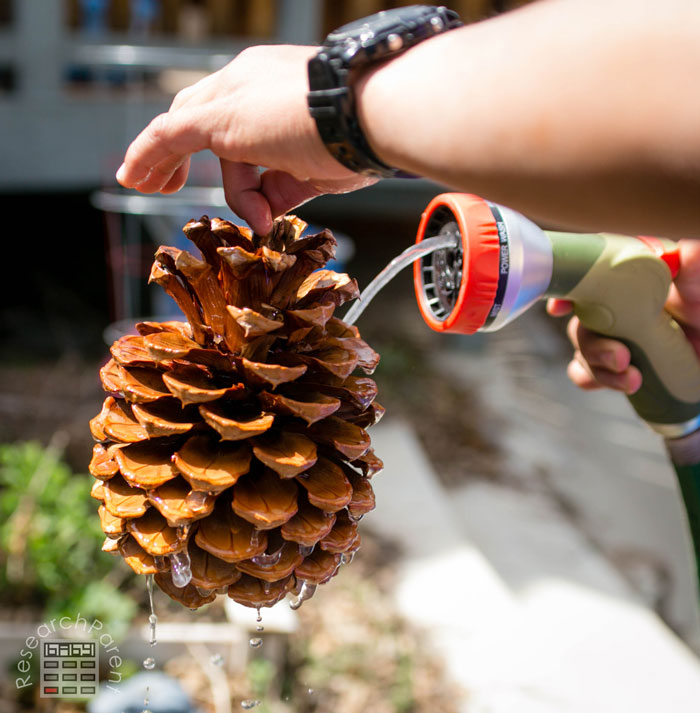 Clean off your pine cone if necessary