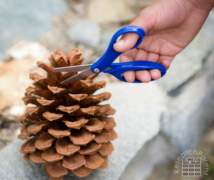 Cut the tips off your pine cone