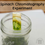 Spinach Chromatography Expeirment